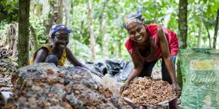 Cocoa farming in Ghana. Augustina Frimong collecting fermented cocoa seeds, Ashanti region.