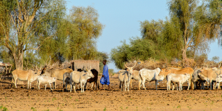 Unidentified Fulani boy grazes cows.
