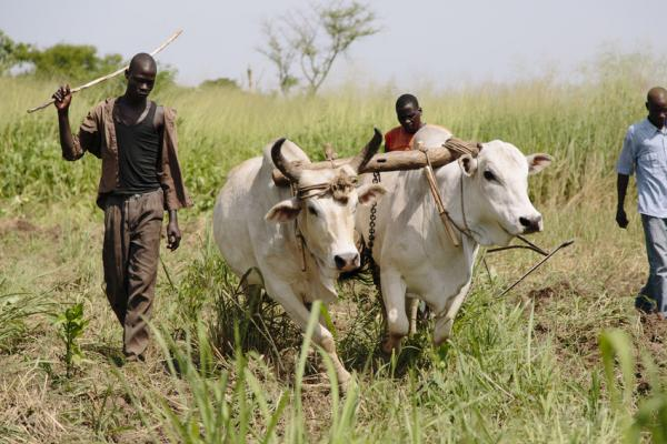 The Lacan Kow Lewet youth co-operative group drive their ox-drawn plough.