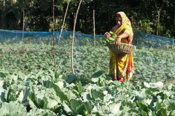 A women wearing a sari stood in a green field collecting crops