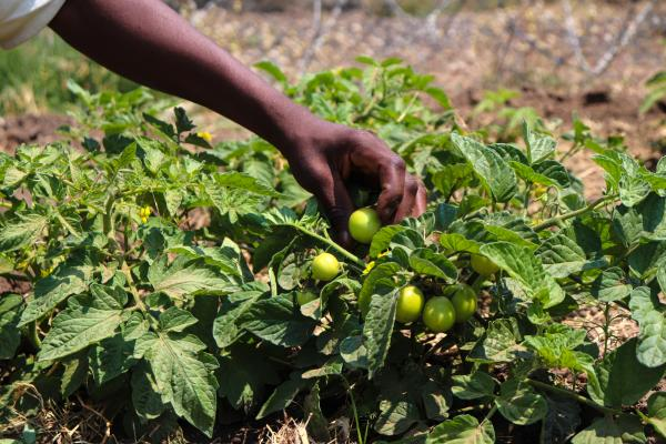 Tomatoes grown on a prison farm in Zimbabwe
