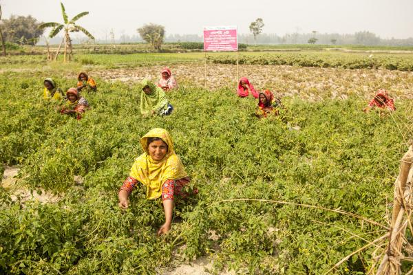 Women working in a field in Bangladesh, farming.
